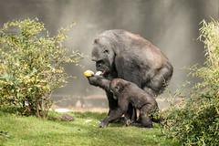 2017-03-26-13h02m25.BL7R0789 (A.J. Haverkamp) Tags: canonef100400mmf4556lisiiusmlens shae shindy amsterdam noordholland netherlands zoo dierentuin httpwwwartisnl artis thenetherlands gorilla sindy pobrotterdamthenetherlands dob03061985 pobamsterdamthenetherlands dob21012016 nl