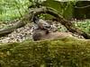 Puna - Iruya - Mähnenwolfschwestern - Tiergarten Nürnberg (ElaNuernberg) Tags: mähnenwolf tiergartennürnberg nurembergzoo zoo zooanimals zootiere mähnenwolfpuna mähnenwolfiruya chrysocyonbrachyurus