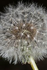 Photochallenge Day 17 (lady_ergrien) Tags: pusteblume blowball dandelion photochallengeapril2017