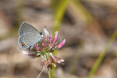 2016 Eastern Tailed-Blue (Cupido comyntas) 10 (DrLensCap) Tags: eastern tailedblue cupido comyntas weber spur trail labagh woods chicago illinois abandoned union pacific railroad right way il bug insect butterfly rails to trails cook county forest preserve district preserves robert kramer