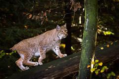 Another lynx pic (Cloudtail the Snow Leopard) Tags: luchs lynx katze cat feline animal tier säugetier mammal beutegreifer predator wildpark pforzheim