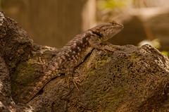 Desert spiny lizard (SCSP-04-12-17)-9 (QuakeUp!) Tags: 2017 colinjmcmechanphotography desertspinylizard nikond7000 snowcanyonstatepark stgeorge tamron150600 usa utah reptile wildlife