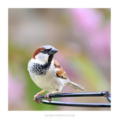Male House Sparrow (Amar Sood) Tags: amarsoodphotocom amarsoodphotography nikon d800 d800e fullframe tamron 7020028 nature bird birds wildlife sparrow square
