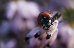 Attention à la chute (Doriane Boilly Photographie Nature) Tags: coccinelle rouge chute insecte prairie nature couleur macro sigma