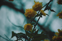 Fragile Beauty (Giulia Gasparoni) Tags: fragile beauty beautiful amazing wonderful flower flowers macro closeup plants nature earth indie vintage pale retro grunge girly delicate dreamy dream photography