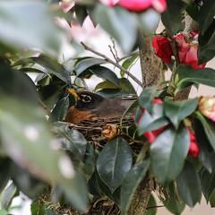 Nesting Robin (Lawrence OP) Tags: american robin bird nest spring dhs dominicanhouseofstudies washingtondc cloister garden