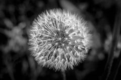 dandelion seed head (#fuerstlife) Tags: löwenzahn dandelion seedhead samen seeds blackwhite fuerstlife fotografie schwarzweiss bw sw flower blume photography