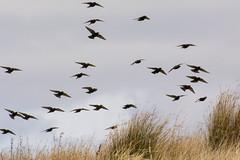 Starlings ~ Explored (Margaret S.S) Tags: birds starlings european flight