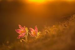 Höhensonne (SonjaS.) Tags: küchenschellen pulsiatilla pulsiatillavulgaris höhensonne sun sonne sonnenstrahlen orange gelb deuschland badenwürttemberg blumen flowers bokeh sanft soft