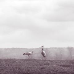 Cranes (*hassedanne*) Tags: cranes hss sundaysliders sweden hornborgarsjön bw