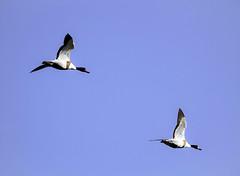 Patos volando (ibzsierra) Tags: pato duck canard ave bird oiseau salinas parque natural ibiza eivissa baleares canon 7d 100400isusm