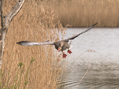 grauwe gans  / greylag goose (nature photography by 3620ronny.be) Tags: panasoniclumixdg100400mmf463asphpowerois belgie riet vogel water birds outdoor naturephotography grauwegans animal natuurfotografie vogels deluysen greylaggoose natuurgebieden limburg natuurgebied belgium takken www3620ronnybe panasoniclumixdmcgx8 animals vijver vijvers tak bree