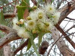 Gumtree blossom (sander_sloots) Tags: gumtree blossom flowers lake joondalup perth bloesem gomboom bloemen eucalyptus tree boom