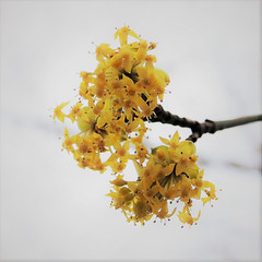 Cornelian cherry (locusmeus) Tags: 365 flowers winter corneliancherry cornusmas europeancornel gelekornoelje