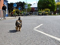 Flo Yorkie Poo Dog Running Through Closed Oakham High Street Closed Cicle Classic Race (@oakhamuk) Tags: flo yorkiepoo dog running through closed oakhamhighstreetclosed cicleclassicrace martinbrookes oakham rutland