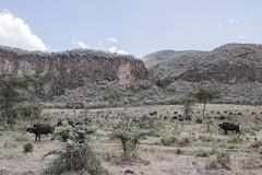 Búfalo (Natalia Lozano) Tags: savanna sabana savannah kenya hellsgate naivasha bufalo safari wildlife wild adventure aventura africa trip viaje