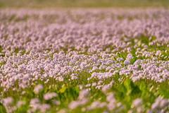 H.O.P.E (W_von_S) Tags: hope fieldofdepth schärfentiefe frühling spring wiesenschaumkraut wiese meadow flowers blumen april 2017 wvons werner outdoor hoffnung bayern bavaria sony natur nature