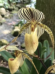 Striped Orchid in morning sun (jungle mama) Tags: orchid stripe yellow fairchildtropicalbotanicgarden fairchildgarden paphiopedilum venusslipper ladyslipper coth5 ngc