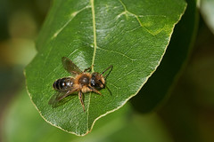 Male miner bee #2 (Lord V) Tags: macro bug insect minerbee bee andrena