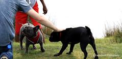 Why you touching stranger ? (FameShoot Photography) Tags: dog black grey grass human touching animals outdoor sunshine pug bulldog french nature uk park sutton westmidlands meeting stranger