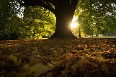 Autumn Light (shona_mackintosh) Tags: autumn leaves sun evening tree hagleypark newzealand christchurch green