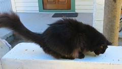 Key West (Florida) Trip 2016 2067Ri 9x16 (edgarandron - Busy!) Tags: florida keys floridakeys keywest cat cats kitty kitties feline