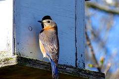 female bluebird (Hayseed52) Tags: bluebird female birdhouse conflict home tree swallow malebluebird male