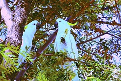 """Will you be my Bird?"" (maginoz1) Tags: cockatoos butterfly art contemporary manipulate autumn march 2017alisterclarkmemorialrosegarden bulla melbourne victoria australia canon g3x"