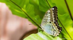 JM foto75-126 (janetankersmit) Tags: 2017 vlinders vlindertuin zutphen