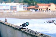 Flirtation and Rejection on the Pier (phongsta) Tags: coast beach pier sanfrancisco california pacifica love nature flirt flirting pigeons pigeon bird