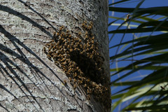 place to bee (foto*grafo) Tags: palmera nido abejas colmena nest beehive bees