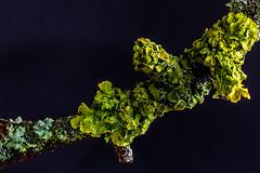 Nature / Natur (CBrug) Tags: branch ast ästchen makro macro wet nass regen rain flechten becherflechten cuplichens lichens cladonia nature natur