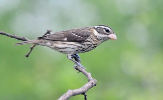 Rose-breasted Grosbeak female by Jackie B. Elmore 4-30-2017 Lincoln Co. KY