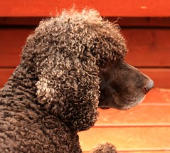 clipper (Kens images) Tags: dogs irish water pets brown curly family canon 40d love breeds show dog