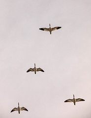 Snow Geese Flight (Kim Tashjian) Tags: snowgeese geese freezoutlakewildlifemanagementarea freezoutlake bird flight spring montana