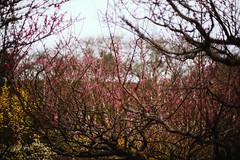 Sanrokugama : Plum Blossoms (Nazra Zahri) Tags: bizen okayama japan 2017 raw spring plumblossoms 梅の花