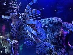 FullSizeRender 67 (sswartz) Tags: underwater underwaterphotography ocean sea sealife marine fish lionfish