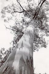 Eucalypt tree (Boobook48) Tags: foundphoto tree eucalypt gumtree kingsolomoncaves tasmania