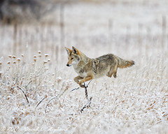 Leaping Coyote (dcstep) Tags: n7a5098dxo canon5dmkiv ef500mmf4lisii ef14xtciii aurora colorado unitedstates us coyote westerncoyote hunting grass frosted wildcanine canine snow cherrycreekstatepark nature urban urbannature sanctuary allrightsreserved copyright2017davidcstephens dxoopticspro1131 pixelpeeper leaping pouncing wildlife copyrightregistered04222017 ecocase14949772801 getty