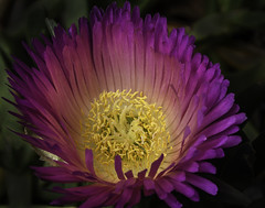 Glowing Ice Plant Flower (Bill Gracey 15 Million Views) Tags: glowing fleur flower flor flowers glow iceplant color colorful lastoliteezbox softbox nature naturalbeauty garden yongnuo trigger