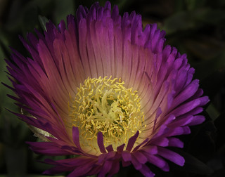 Glowing Ice Plant Flower