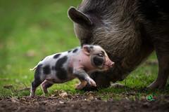 Mini Piglet (Andreas Krappweis - thanks for 2,5 million views!) Tags: sonyalpha850 sigmaapo500mm145 baby animal mini piglet