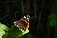 Vanessa Atalanta (M a r i S à) Tags: vanessaatalanta vulcano atalanta butterfly lepidoptera papillioatalanta redadmiral pyrameisatalanta pyrameisammiralis farfallavulcano
