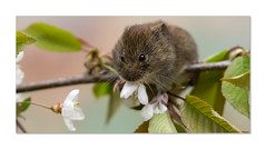 Mmm, blossom ... my favourite (hehaden) Tags: rodent vole bankvole myodesglareolus blossom white eating millerswood sussex sel90m28g httpwwwjohnstantonphotographycouk