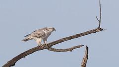 Faucon gerfaut_2A5A1466 (d.jauvin) Tags: faucon rapace québec baiedufebvre