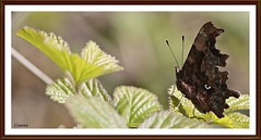 Comma (stu.bloggs..Dont do Sundays) Tags: butterfly butterflies comma colours leaves foliage spring april 2017 species northyorkshire perched pattern markings shape underwing insect