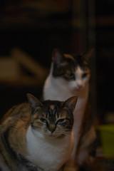 Kinako, Azuki (kr0nk0) Tags: kinako azuki cat sony a7rii ilce7rm2 sel70300g fe 70300mm f4456 g oss
