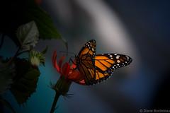 Monarque - Monarch (diane.bordeleau) Tags: papillon butterfly nature natural orange fields color colorful coloré light lumière flowers flower flore