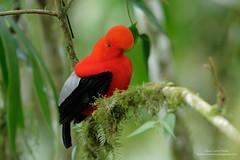Gallito de la peña, Ecuador (www.juancarlosvindasphoto.com) Tags: andeancockoftherock ecuador rupicolaperuvianus birding birdphotography gallodelaroca