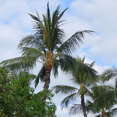 Coconut (Cocos nucifera): Boron deficiency, mild (Scot Nelson) Tags: coconut cocosnucifera boron b deficiency